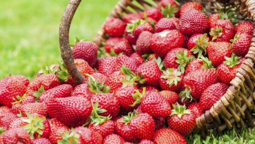 Queensland's winter strawberry season was officially launched on Tuesday.