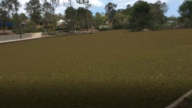 Weevil introduced to Forest Lake in bid to kill weeds