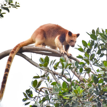 With no monkeys or lemurs as competition, the tree kangaroo evolved.