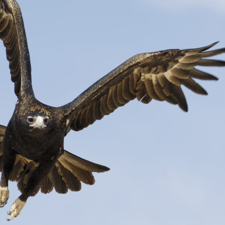 A wedge-tailed eagle in flight.
