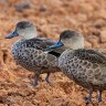 Drought-breaking rains not enough to boost wetland bird numbers