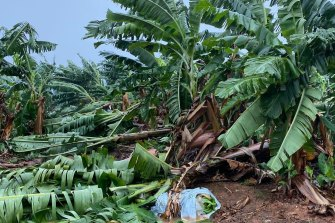 Banana plantations around Innisfail have been flattened by cyclonic winds.