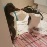 WA wildlife carer farewells mysterious penguins as they travel home to Antarctica