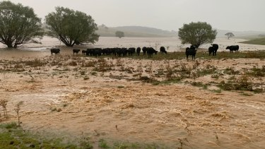 Some of Justin Orr's cattle stuck on what little ground that wasn't washed out by Tuesday's heavy rain.
