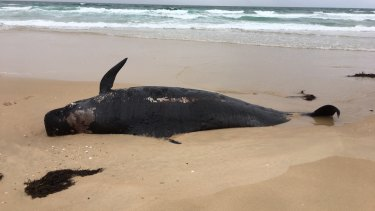 One of two pilot whale carcasses found washed up near Mallacoota on Thursday in the second whale beaching in Victoria's east this week.