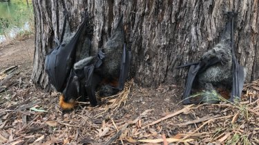 At least 2000 flying foxes are estimated to have died in East Gippsland during the scorcher.