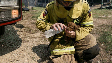 A firefighter pouring water in the mouth of a puppy caught up in dangerous bushfires in central Queensland.