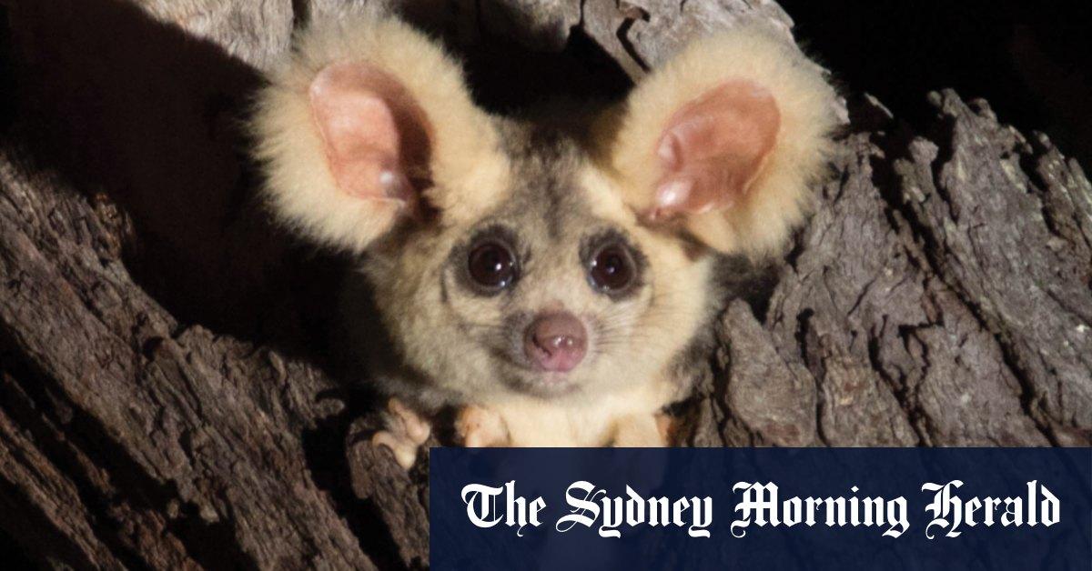 'Australia's biodiversity just got a lot richer': Two new mammals discovered