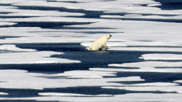 A polar bear climbs out of the water in the Franklin Strait in the Canadian Arctic Archipelago. The Arctic is suffering dramatic loss of sea ice.