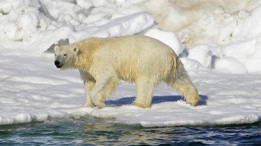 A polar bear in its natural habitat.