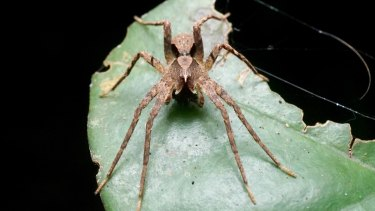 Ornodolomedes mickfanningi takes its name after the Australian surfer.