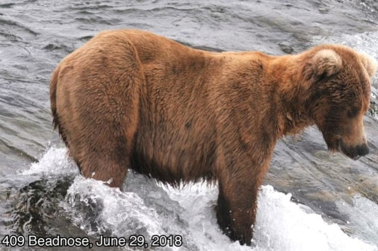 409 Beadnose before spending months gorging on salmon.