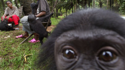 When it comes to overbearing mothers, spare a thought for the bonobo