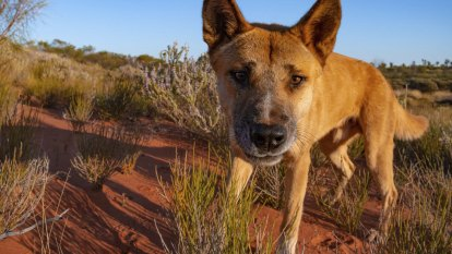 'Silver bullet' for business: The Aussie farmers bringing dingoes back