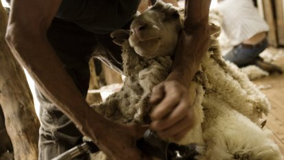 'Wool Air': Mercy dash for Kiwi shearers on the cards to help clip Australia's flock