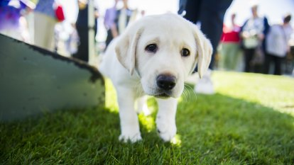 Labradors top the list for Brisbane's most popular pet