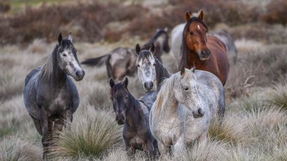 Barilaro's 'brumby bill' has been a catastrophe for the high country