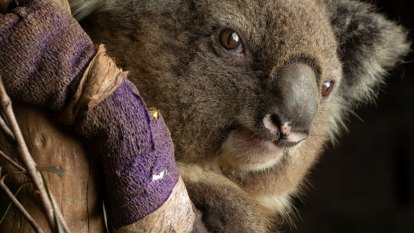 Koala losses 'spectacularly huge' after NSW drought, bushfires
