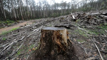 'Not policing our own backyard': Victorian forestry industry breaches logging rule