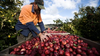 'You may find love': Government's fruit picking plan still short on action
