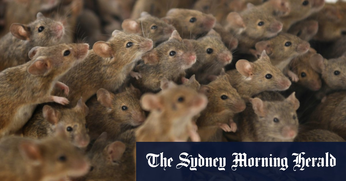 Stand down Pied Piper the mouse plague isn't coming to Sydney – Sydney Morning Herald