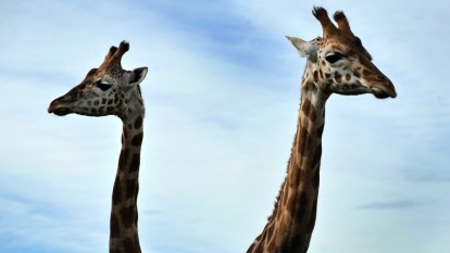 Deaths of goose, giraffe among six animal tragedies in Victoria's zoos