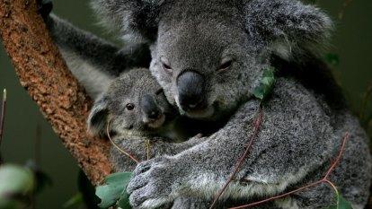 Man steals donations from Brisbane koala sanctuary