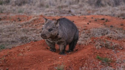 Wombats' jaws change shape to eat different foods, research shows