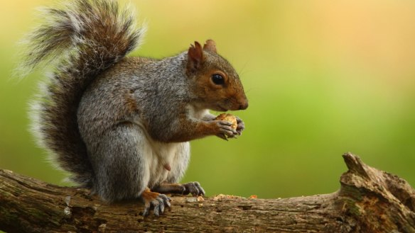 Squirrels are cute, cuddly - and on the menu in London