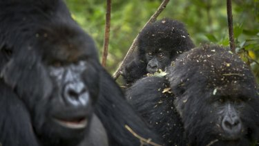 A band of gorillas in Volcanoes National Park, northern Rwanda.