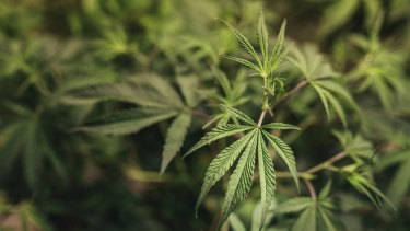 New Zealand will hold a binding referendum on cannabis legalisation.