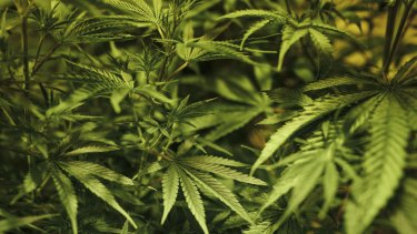 Medicinal cannabis growth is regulated by the Office of Drug Control, according to Brisbane City Council.