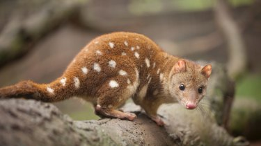 Spot-tailed quoll.