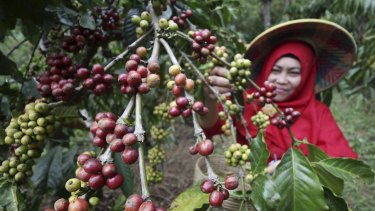A farmer harvests robusta coffee at a Plantation in East Java, Indonesia.