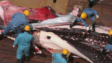 "Japan claims its annual whale hunt is required for ""research"" purposes."