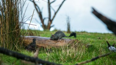 A brush-tailed phascogale photographed in the Watsons Creek Habitat Link near Warrandyte.