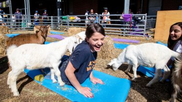 Goat yoga at the Royal Easter Show in Sydney. Now it's Brisbane's turn.