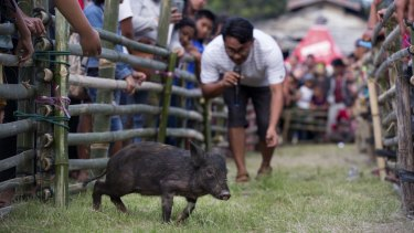 A competitor tries to attract a piglet during a pig calling competition at Toba Pig and Pork Festival in Muara, North Sumatra, Indonesia. African Swine Fever has killed thousands of pigs in the area.