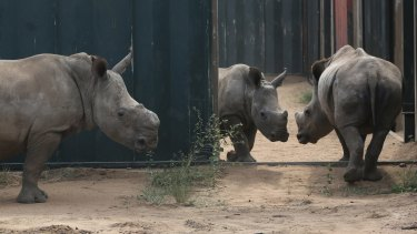Young rhinos walk about their enclosure at a rhino orphanage in the Hluhluwe-iMfolozi Game Reserve in the KwaZulu Natal province South Africa.