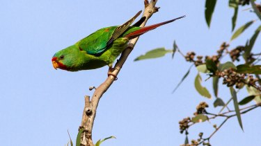 The swift parrot, one of the most critically endangered animals in Australia.
