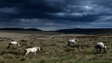 A mob of brumbies near Kiandra, one of the sensitive regions in the high plains of the Kosciuszko National Park.
