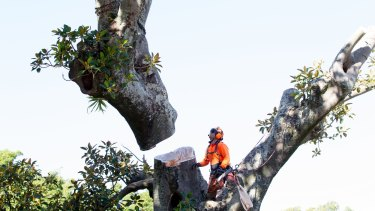 Tree loppers remove Moreton Bay figs on Sydney's Anzac Parade to make way for the light rail.