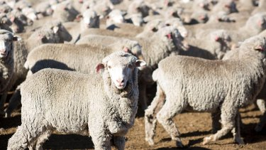 Drought has pushed Australia's sheep flock to its lowest level in more than 100 years.