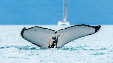 A whale pictured off the coast of Hamilton Island.