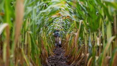 China's commerce ministry has restricted the import of US corn.