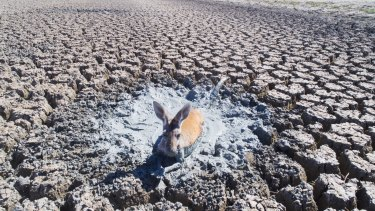 A drone photo of a kangaroo stuck in drying mud in the drainage canal of Lake Cawndilla, one of the four Menindee Lakes.