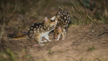 Juvenile eastern quolls at Mulligans Flat in Canberra, where quolls have been reintroduced behind exclusion fencing to keep out cats and foxes. Booderee National Park is the only wild breeding location on the mainland.