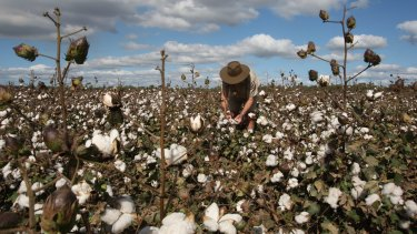 Cotton production has been affected by the drought.
