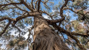 The Djab Wurrung call this ancient Indigenous tree the Directions Tree, which they believe grew from a seed and the placenta of their ancestor many centuries ago. It is believed that the tree had the power to give spiritual guidance.