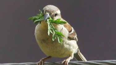 Researchers have found Chinese russet sparrows use medicinal leaves to protect their young – the first clear evidence of a bird species deliberately using medicine.